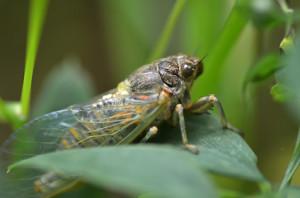 Roland Hansson i Huddinge naturskyddsförening har tagit denna bild av en bergscikada - en av Sveriges mest sällsynta insekter.