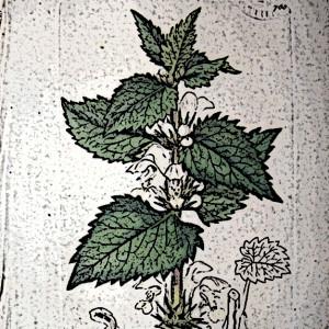 nässelplanta001