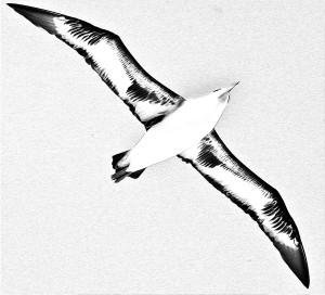 albatrossimg_6418_2